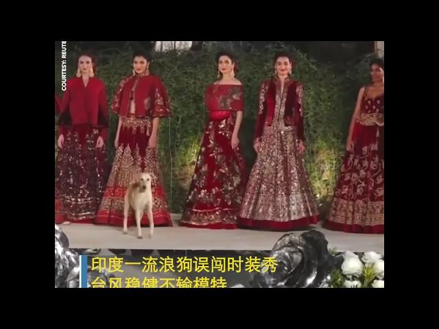 印度一流浪狗误闯时装秀 台风谈定不输模特