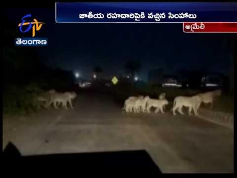 WATCH  | Traffic halts on Pipavav Rajula Highway in Gujarat as Pride of Lions cross the road