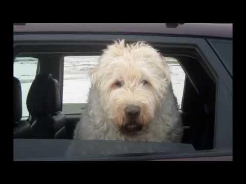 Frankie our rescued white Bouvier des Flandres - YouTube