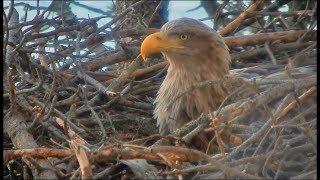 Smola Norway Eagle Cam ~ Gorgeous Baron Blue Closeups ~ B & B Work On Nest 2.23.18