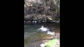 My Chesapeake Bay Retriever Cross Springer Spaniel Dog In The River