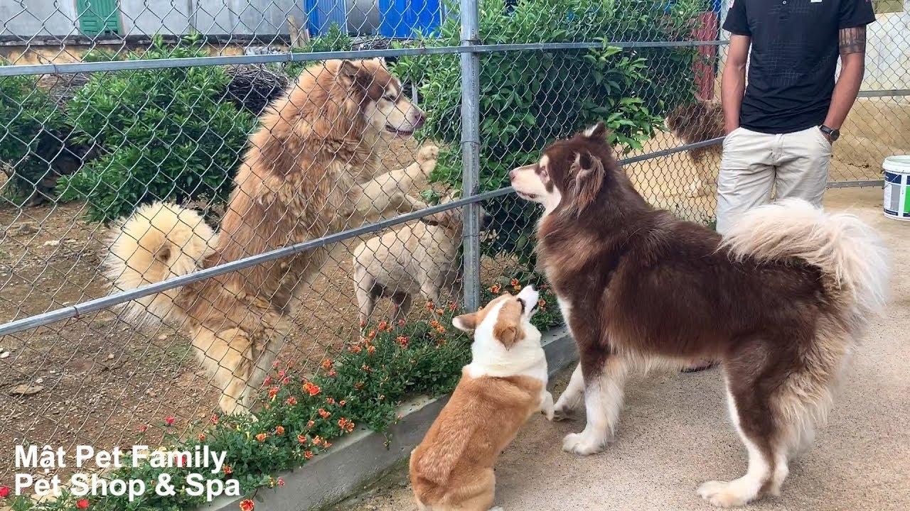 Mật Về Quê Chơi Và Cuộc Đại Náo 20 Chú Chó Alaska Siêu To Khổng Lồ ==)))
