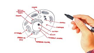 How to draw a Animal Cell Step by Step | Animal Cell Parts