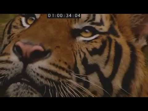 Sumatran Tiger, the preview