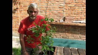 Гинкго Билоба - сажаем Родовое дерево с лечебными свойствами.