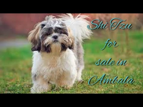 Dog For Sale In Ambala Shi Tzu Puppy Youtube