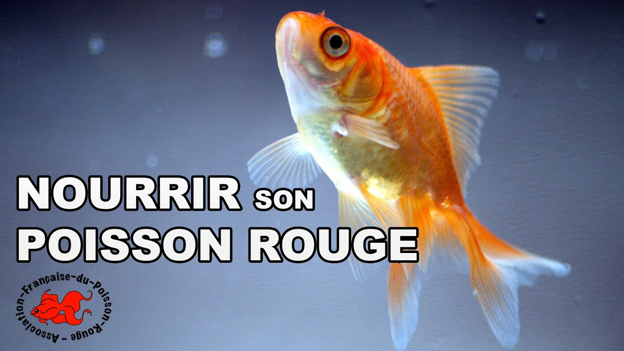 Nourrir son poisson rouge youtube for Alimentation guppy poisson rouge