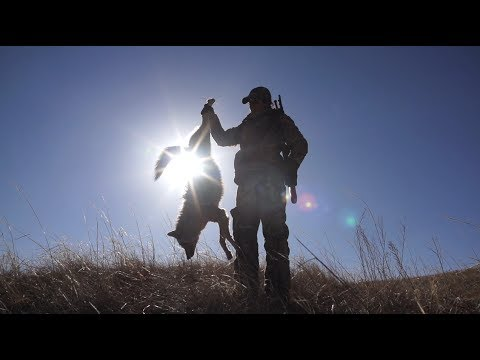 Coyote Hunting Tips and Importance of Predator Control