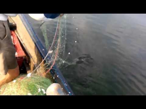 Промысловый лов рыбы в  Украине..