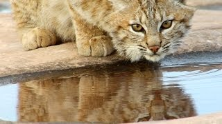 Save Bobcats - Give a Green Gift this Holiday Season - NRDC