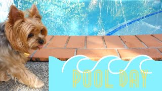 Yorkie Dog Swimming in the Pool | Yorkie Style