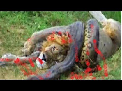 le plus gros animal sauvage combat craziest animaux attaque caught attaque fou combat youtube. Black Bedroom Furniture Sets. Home Design Ideas