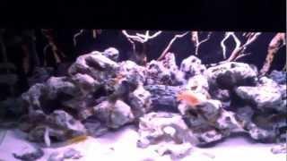 African Cichlid Aquarium Update - 55 Gallon Tank