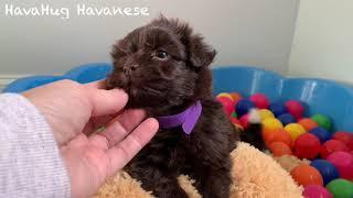 Chocolate Havanese Puppy Playtime! :)