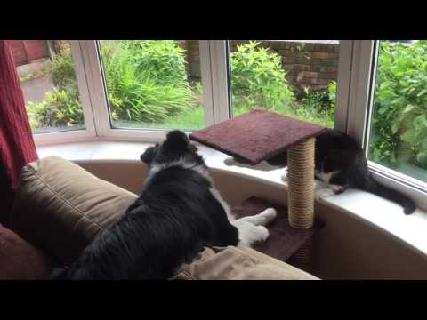 Border Collie and Cat playing