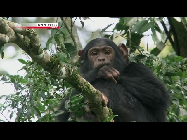 chimps  documentary