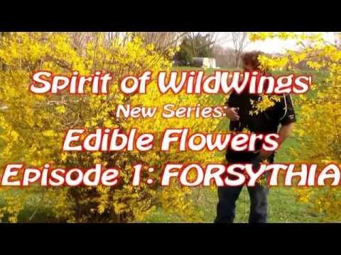 Edible Flowers - Episode 1: Forsythia