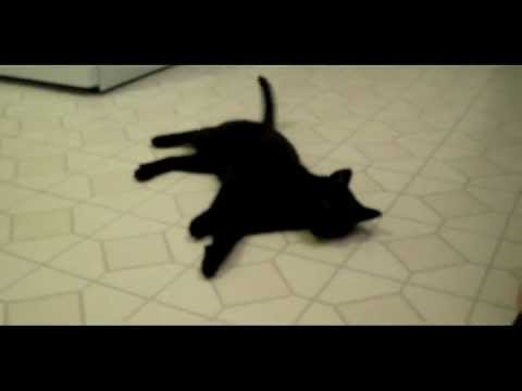 Xander the polydactyl cat doing tricks