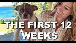 Life With A Three Month Old Boston Terrier!  Red Boston