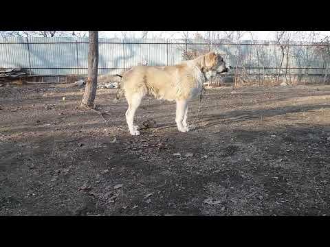 Азият порода собак