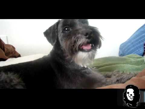 Noodle The Schnoodle Gets A New Doo Youtube