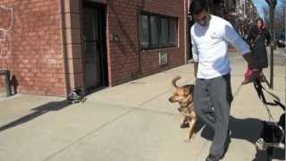 Pit Bull Terrier Aggression - Nyc Dog Training - Dctk9 - Part 4