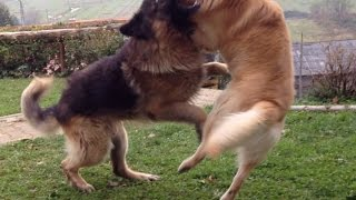 Labrador Vs German Shepherd Fight Hd