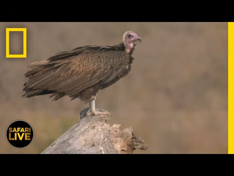 Safari Live - Day # | National Geographic