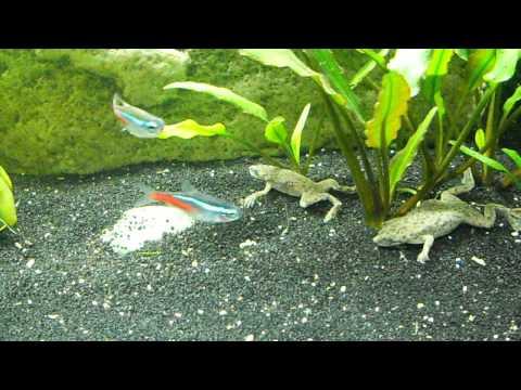 African Dwarf Frogs Feeding, Swimming, Surfacing