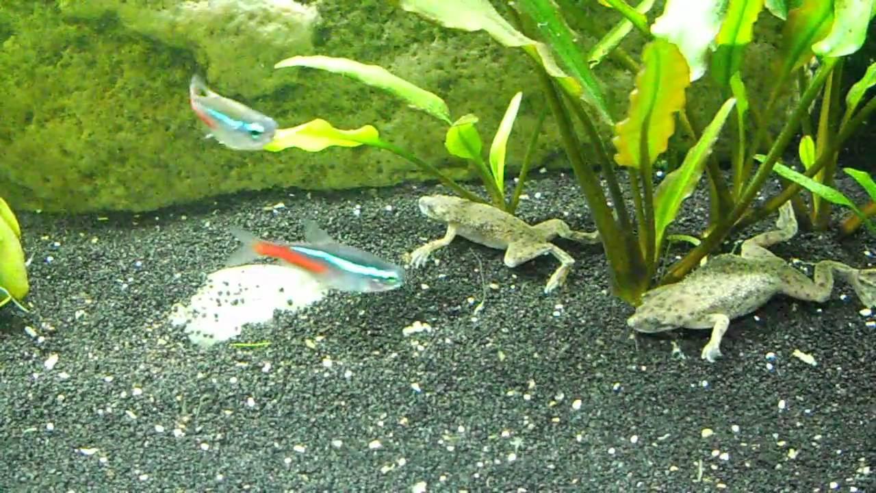 African Dwarf Frogs Feeding Swimming Surfacing Youtube
