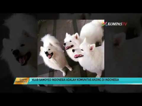 Ini Klub Samoyed Pecinta Anjing Rusia