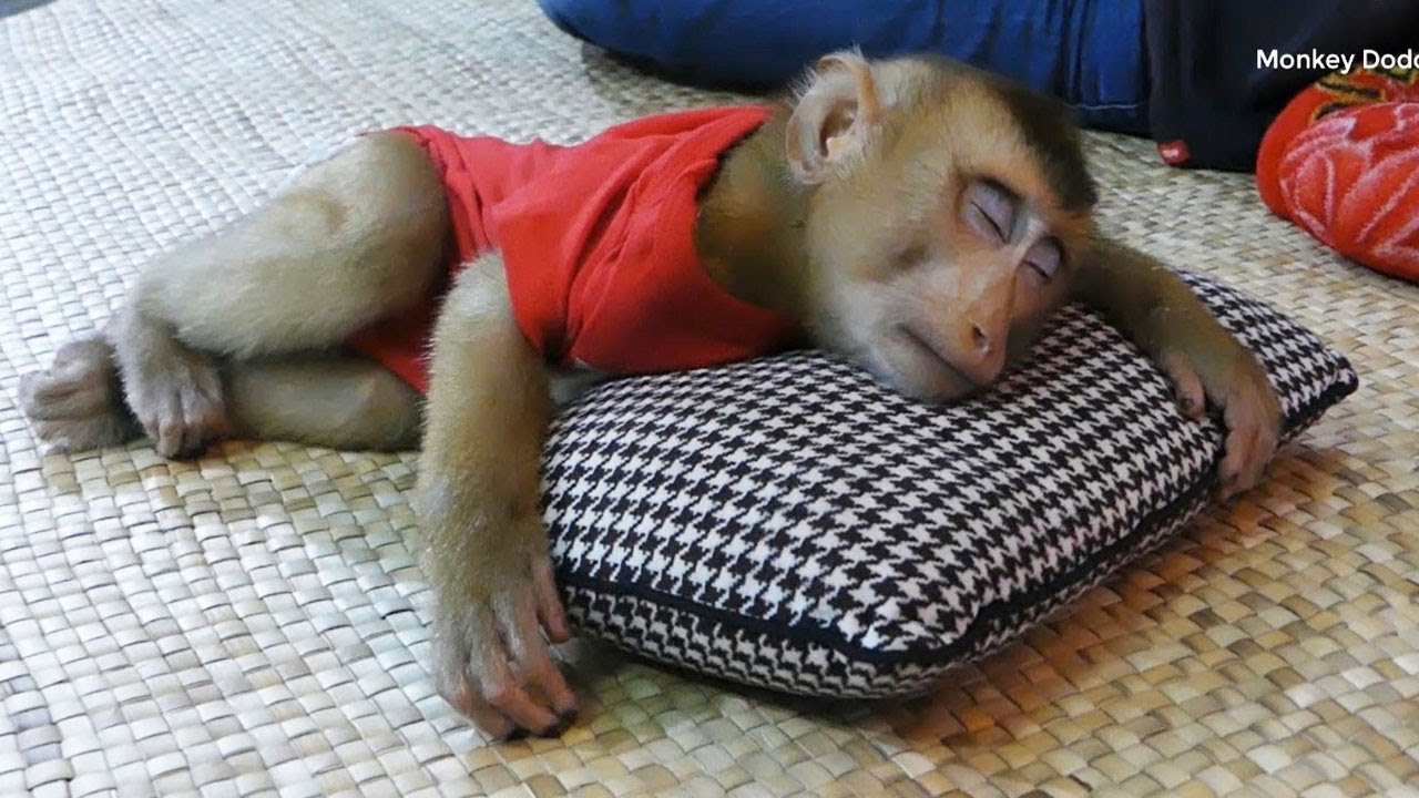 Cute Monkey, Dodo Sleeping Well Hugging New Pillow While Mom Prepare For Him