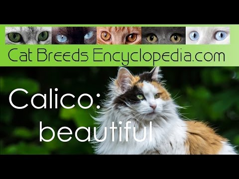 Calico beautiful - Cat Breeds Encyclopedia