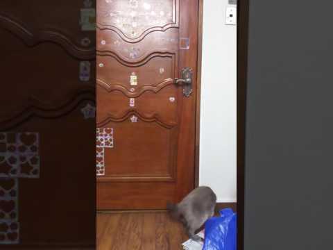Tonkinese female open the door.