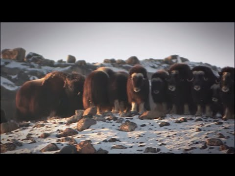 Arctic wildlife in Greenland