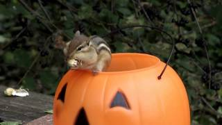 lord humongous the chipmunk eating peanuts from a pumpkin