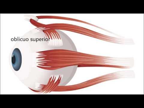 músculos extrínsecos del ojo