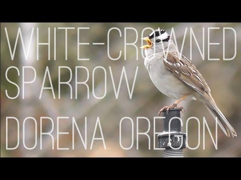 White-crowned Sparrow (Zonotrichia leucophrys), Dorena Genetic Resource Center, Oregon, USA