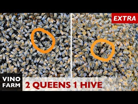 Two Queens in One Hive? Never seen this before!