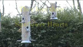 British Garden Birds Feeding