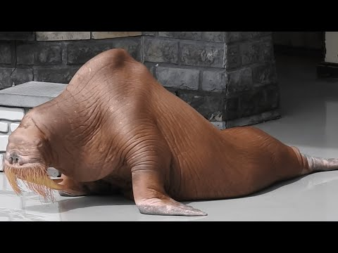 A Man Filmed This Emaciated Walrus At A Marine Park, And It's Caused Outrage Around The World