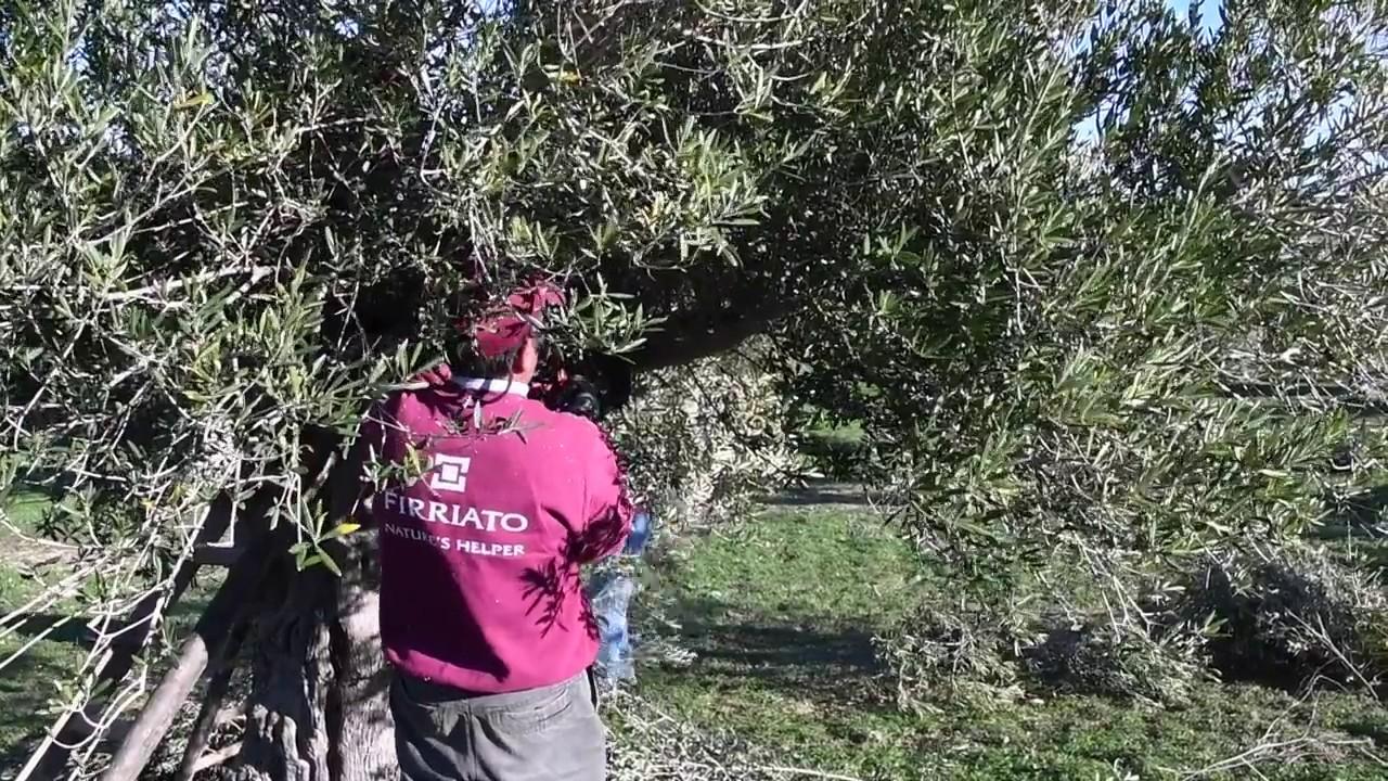 La potatura degli olivi