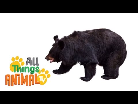 BLACK BEARS: Animals for children. Kids videos. Kindergarten | Preschool learning