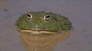 The African Bullfrog