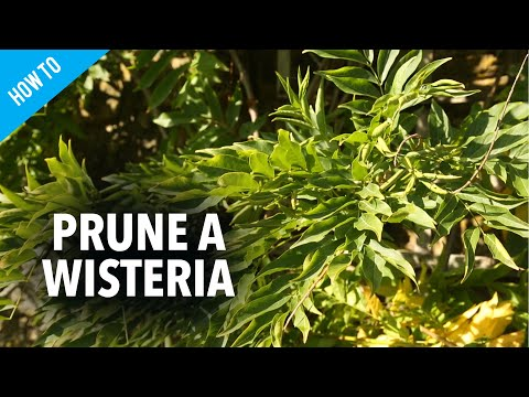 how-to-prune-wisteria
