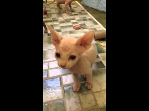 Twin Sphynx Kittens Playing
