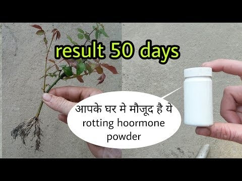 किसी भी कटिंग से पोधे लगाने के लिये ये है घरेलू rooting Organic rooting hormone powder
