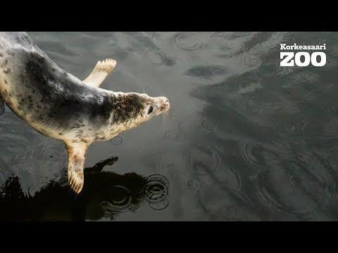 Five Seal Pups Released from Helsinki Zoo´s Wildlife Hospital (Halichoerus grypus) 2017