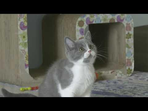 British kitten Solomon is 2,5 months old