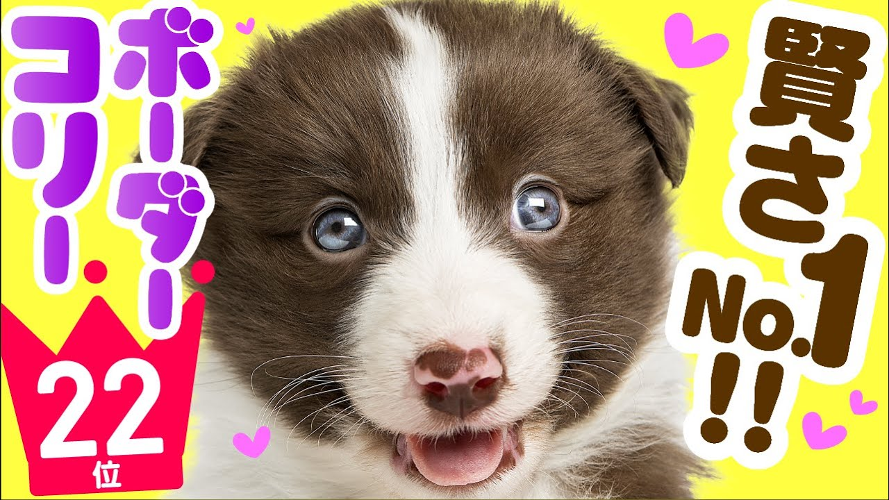 ❤️人気22位【ボーダー・コリーってどんな犬?】子犬の価格や性格、寿命、飼いやすさは? カワイイ動画でチェック!